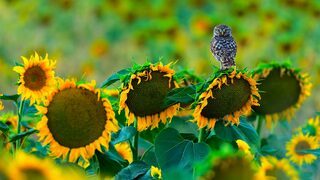 OwlSunflowers_ZH-CN8154999485.jpg